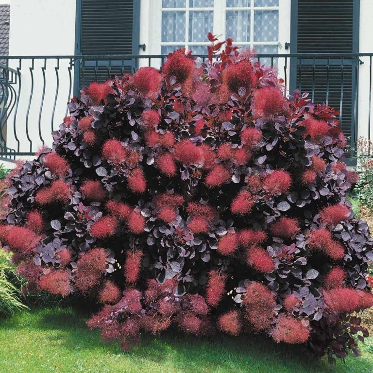 b bor csersz m rce cotinus coggygria 39 royal purple 39 kerti n v nyek. Black Bedroom Furniture Sets. Home Design Ideas