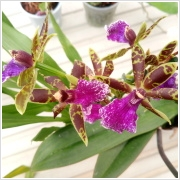 Cambria orchidea mix