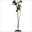 Ficus carica - Brown Turkey 60/80cm magas