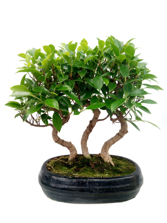 Fikusz erdő - Bonsai