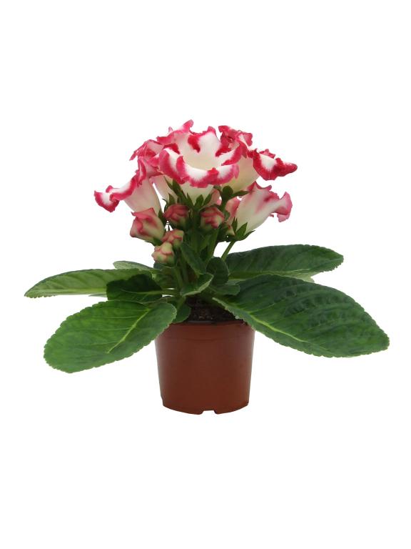 Tölcséres virágú növények