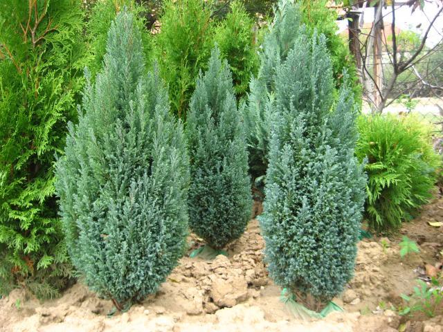 Oregoni hamisciprus chamaecyparis lawsoniana 39 ellwoodii for Variedades de pinos para jardin