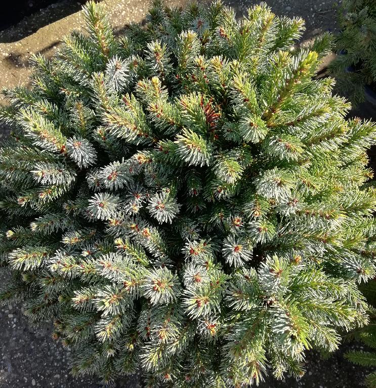 Szerb luc (Picea omorika) | Kerti növények | fitoland.hu