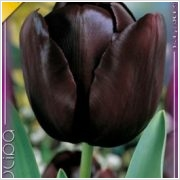 Tulipán hagyma 'Queen of Night'